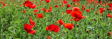 Campo rojo floreciente de las amapolas Imagen de archivo libre de regalías