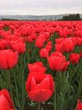 Campo rojo llameante del tulipán Fotografía de archivo
