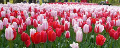 Campo rojo y rosado del tulipán Fotos de archivo