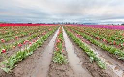 Campo rosa del tulipano in primavera Fotografia Stock