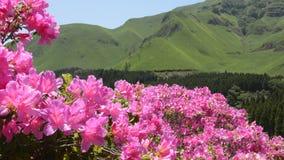 Campo rosa dell'azalea stock footage