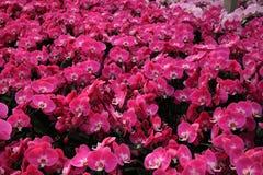 Campo rosa dell'orchidea Fotografie Stock Libere da Diritti