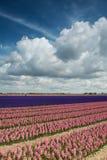 Campo rosa e porpora del giacinto con le belle nuvole Immagini Stock Libere da Diritti