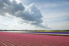Campo rosa un giorno soleggiato con una bella nuvola, Nethe del giacinto Fotografie Stock Libere da Diritti