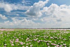 Campo rosado de la amapola Fotografía de archivo libre de regalías