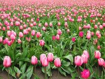 Campo rosado de los tulipanes Foto de archivo