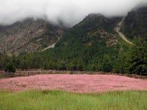 Campo rosado del alforfón en el Himalaya durante monzón Fotografía de archivo libre de regalías