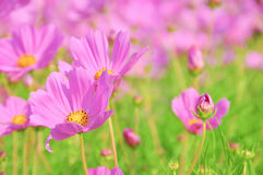 Campo rosado del cosmos Imagen de archivo
