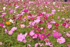 Campo rosado del cosmos en luz del sol Foto de archivo