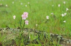 Campo rosado del thailandica de Caulokaempferia. Foto de archivo