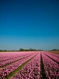 Campo rosado del tulipán Fotografía de archivo libre de regalías