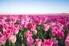 Campo rosado del tulipán Imágenes de archivo libres de regalías
