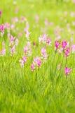 Campo rosado del tulipán de Tailandia, Tailandia Imagen de archivo