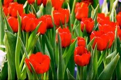 Campo rosso dei tulipani immagini stock libere da diritti