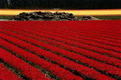 Campo rosso dei tulipani Fotografie Stock Libere da Diritti