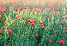 Campo rosso del papavero Fotografia Stock