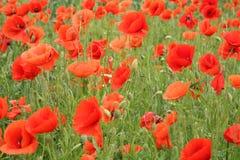 Campo rosso del papavero immagine stock