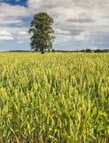 Campo rural con el abedul solo y el trigo de primavera fresco Fotos de archivo
