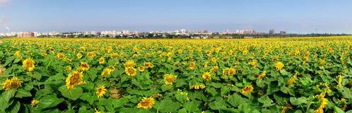 Campo rural con los girasoles. foto de archivo libre de regalías