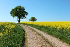 Campo rural a del canola de la violación de semilla oleaginosa del amarillo del árbol del camino Fotos de archivo libres de regalías