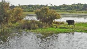 Campo rural por el río con ganado del búfalo de agua en África almacen de metraje de vídeo