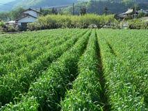 Campo rurale di agricoltura Fotografie Stock Libere da Diritti