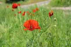 Campo salvaje con las amapolas rojas Fotos de archivo