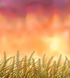 Campo salvaje de las cosechas en la puesta del sol ilustración del vector