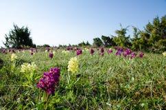 Campo salvaje de las orquídeas foto de archivo