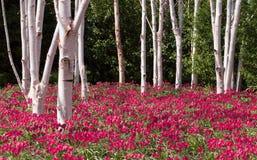 Campo salvaje del tulipán Imagen de archivo libre de regalías