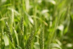 Campo Sativa del verde del cereal de la avena Imágenes de archivo libres de regalías