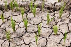 Campo seco del arroz ninguna agua en granja Imagen de archivo libre de regalías