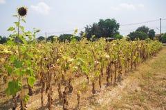 Campo seco del girasol Fotografía de archivo libre de regalías