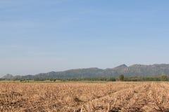 Campo seco do milho após a colheita Foto de Stock