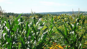 Campo selvagem com milho e girassóis Imagens de Stock