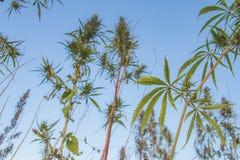 Campo selvaggio della cannabis in Mongolia fotografia stock