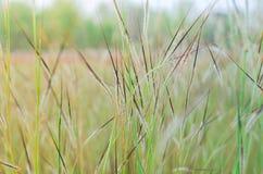 Campo selvaggio di erba sul tramonto, braccio molle del raysw del sole Fotografia Stock