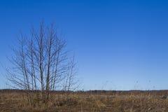 Campo soleado con el árbol de abedul Imagen de archivo