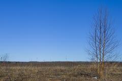 Campo soleado con el árbol de abedul Imagenes de archivo