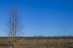 Campo soleado con el árbol de abedul Fotos de archivo