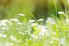 Campo soleado de margaritas; fondo de la primavera fotografía de archivo