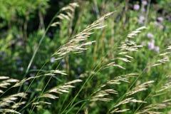 Campo sonhador de Duluth da grama e das ervas daninhas Fotografia de Stock