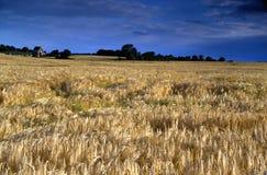 Campo sotto un cielo nuvoloso blu profondo - granulo visibile di Rye Fotografia Stock
