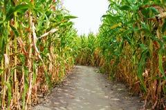 Campo, suelo y cielo de maíz Foto de archivo