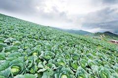 Campo sulla montagna, Phu individuato Tubburk del cavolo Immagine Stock Libera da Diritti