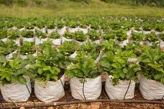 Campo tailandés de la fresa con la irrigación por goteo fotografía de archivo