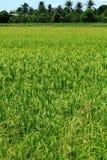 Campo tailandés del arroz Imagen de archivo