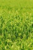 Campo tailandés del arroz Foto de archivo