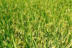 Campo tailandés del arroz fotos de archivo libres de regalías