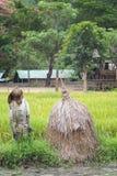 Campo tailandés del arroz Foto de archivo libre de regalías